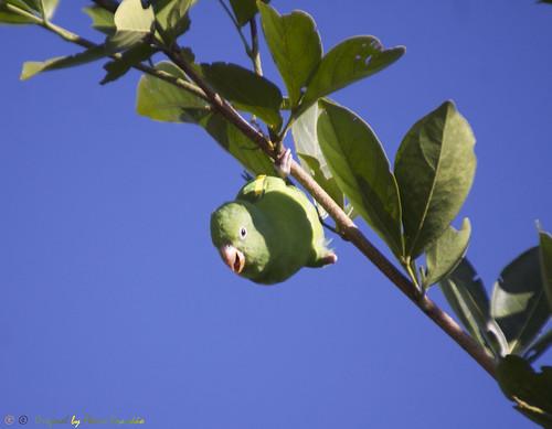 Série com o Tuim-de-Asa-Amarela, Periquito ou Maritaca (Brotogeris chiriri chiriri) - Series with the Yellow-chevroned Parakeet - 09-02-2014 - IMG_9347