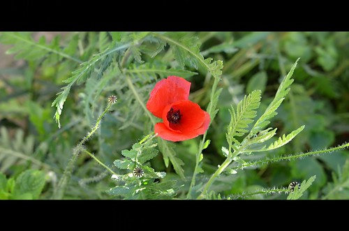 1916 - 2016 - Red Poppy - Flandern Flower,  Klatschmohn,  Klaproos