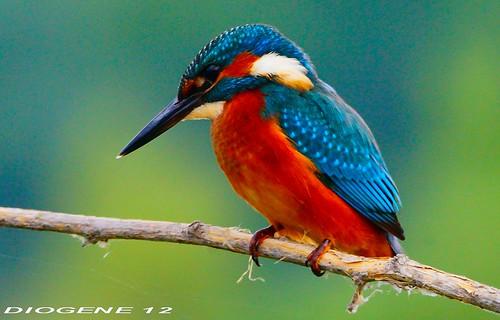 MARTIN PESCATORE 24 ( Kingfisher 24 ) Oasi di Cronovilla Vignale Parma ( Oasis di Cronovilla Vignale Parma ) http://cronovilla.weebly.com/