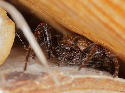 Jäger am Insektenhotel - Nuctenea umbratica ?