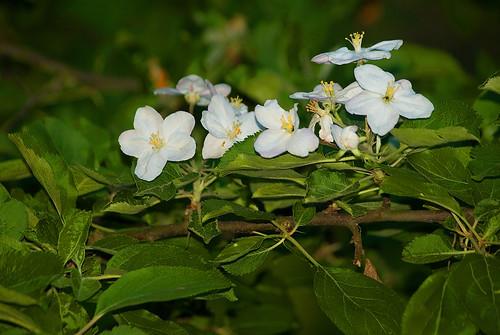 Kwiaty jabłoni 5