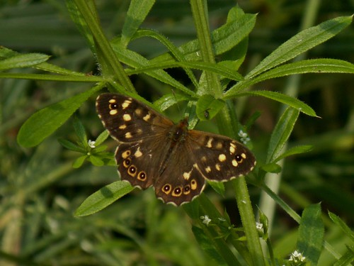Speckled Wood in WWT Martin Mere near Bourscough,  Lancashire, England - June 2013