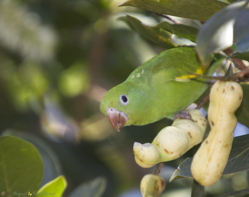 Série com o Tuim-de-Asa-Amarela, Periquito ou Maritaca (Brotogeris chiriri chiriri) - Series with the Yellow-chevroned Parakeet - 09-02-2014 - IMG_9317