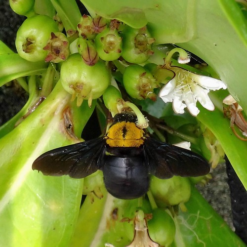 Casting a Shadow. Xylocopa aestuans, Carpenter Bee, on Scaevola taccada, Beach Cabbage, Mangsit Beach, Lombok, Indonesia