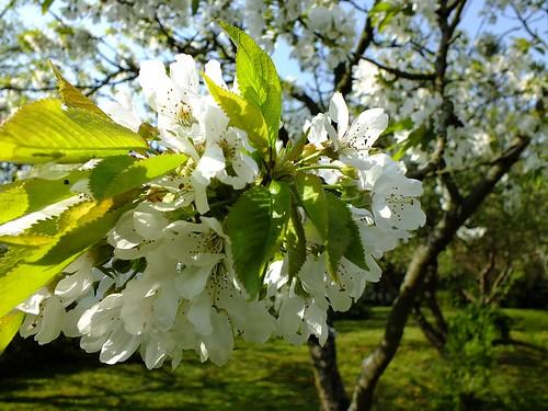 Kwiaty jabłoni.