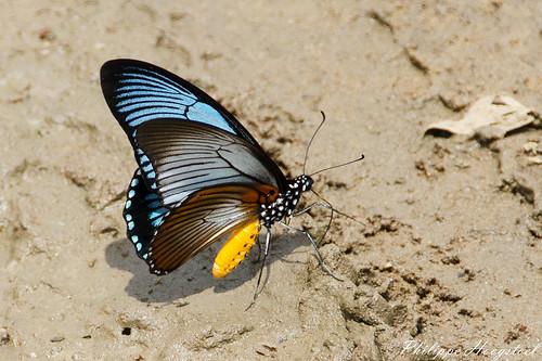 Papilio zalmoxis 20141114_46354