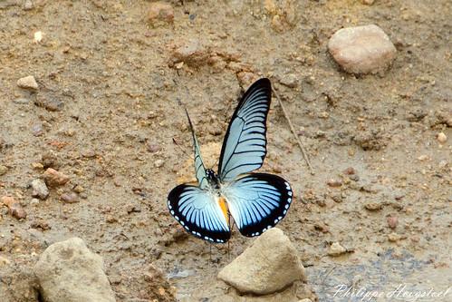 Papilio zalmoxis 20141114_46370