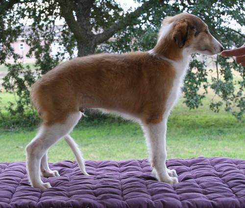 Silken Windhound 11 week old male puppy called Rusty