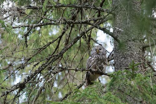 Chouette de l'Oural Ural Owl 0758