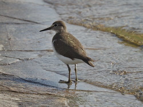 Common Sandpiper at Aspire Park in Doha, Qatar - January 2019