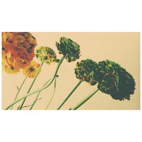 Pure by Peeano • • #flora #samsungphotography #eyemomentsgraphy #photodirector #loveflowers #floraphotography #instaflowerslovers #iloveflower #blur #dreams # #flickr #toprepostme #love #albumcovers #instaflowers #floweroftheday #flowers