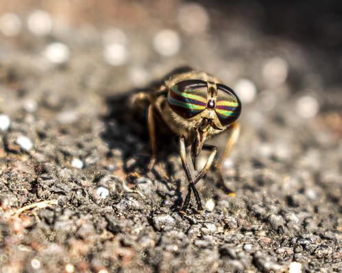 Horsefly Eyes...