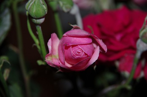 27 Reliable Sources To Learn About Rose | rose