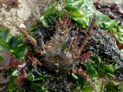 Pisa tetraodon - Pise à quatre dents ou  Pisa à quatre cornes ou Crabe en forme de poire ou Petite araignée de mer ou Tétraodon à quatre dents - Four horned spider crab - 21/02/19
