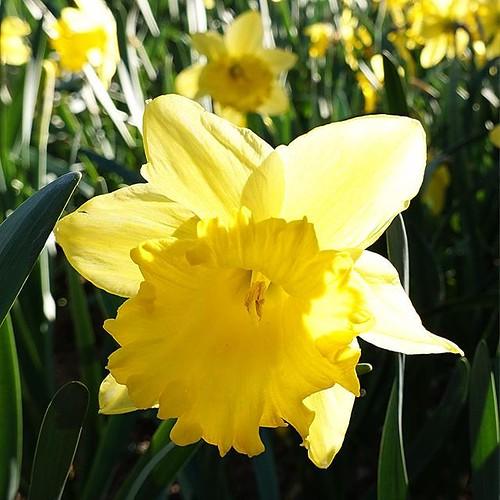Narciso. #flors #flores #flowers #ig_flors #shin_nature #shin_flors #jardi #ig_flores #ig_nature #ig_flowers #jardines #garden #natura #naturaleza #nature #flower_igers #flowersinframe #thehub_flowers #barcelona #setiobe #jardinsmossencintoverdaguer #narc