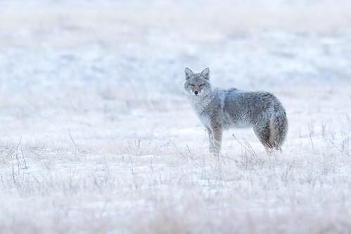 Aapí'si | Canis latrans | Coyote