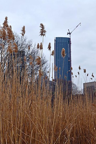 Reeds in the Fens