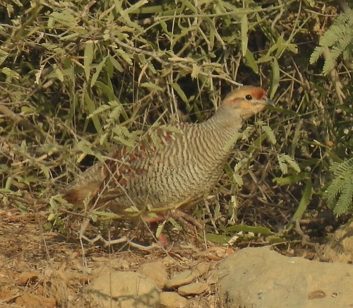 Indian Grey Francolin at Kathore, Sindh, Pakistan - January 2019