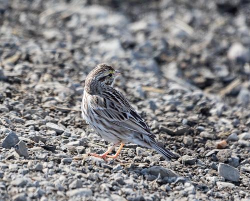 Savannah Sparrow 2019-03-14 ©Kevin S Lucas