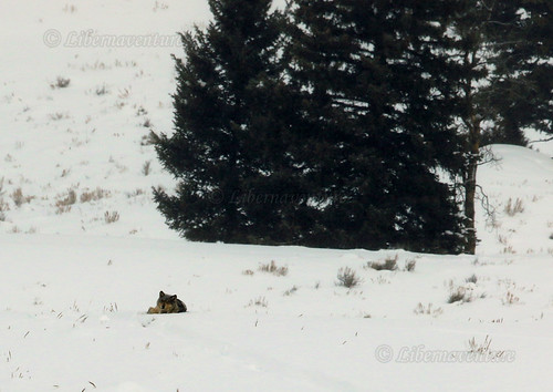 2V6A0418 - A4 - 2019/02 - Yellowstone National Park - WWW, non pas le Net, West White Wilderness, en version poids léger : la louve / WWW, not the Web, West White Wilderness, in light weight version : the female wolf.