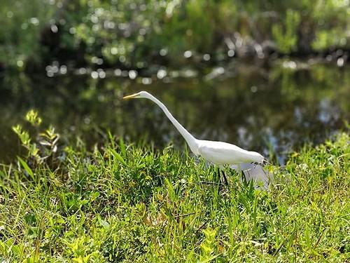 Everglades oli hieno. Delfiineitä ja erilaisia lintuja pakollisten alligaattorien lisäksi. Kuvassa joku hoikka haikara #sharkvalley #everglades #evergladesnationalpark