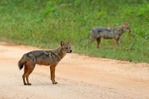 Sri Lankan Jackal - Canis aureus naria