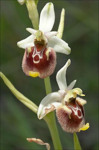 Ophrys-holosericea-ssp-tetraloniae_33