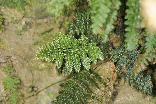蕨類 膜蕨科 長片蕨屬 線片長筒蕨 (全株01) 宜蘭松羅步道 Abrodictynm obscurum