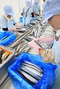 Iwate's Ofunato 1st saury shipments since disaster