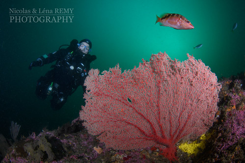 Gorgonian at Yena wall