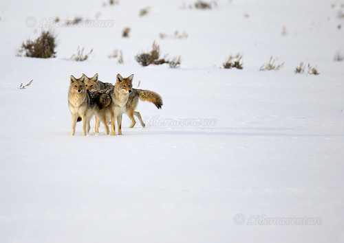 2V6A6726 - A4 - 2019/02 - Yellowstone National Park - La force de la meute de coyotes, rester groupée / The strength of the pack of coyotes, stay together.