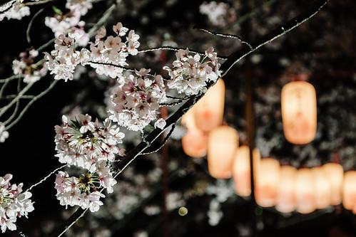 夜桜に提灯