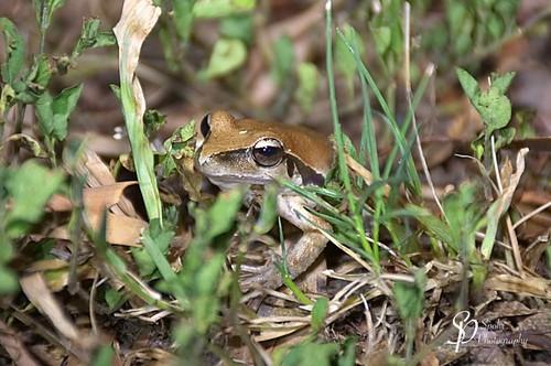 Stoney-creek Frog (f) - Litoria wilcoxii