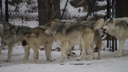 Loups qui hurlent / Howlin Wolves [Canis lupus]