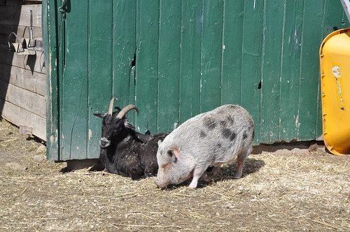 Bartleby and Sister Mary Francis- Catskill Animal Sanctuary