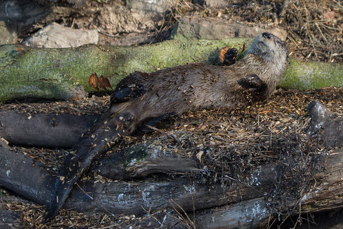 Otter Lutra lutra Relaxing