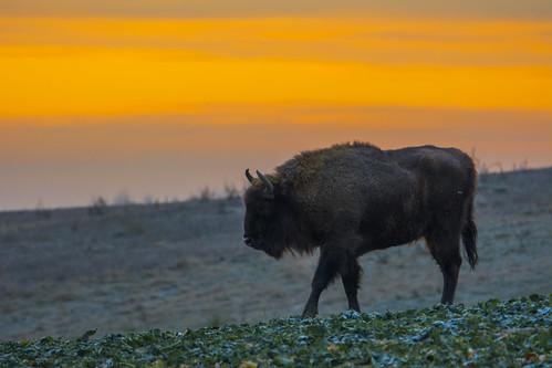 Samotny Żubr/Lonely E. Bison