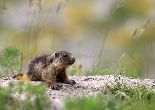 2V6A3685 - A4 - France, Chaudun : La petite marmotte au solarium / The little marmot at the solarium.