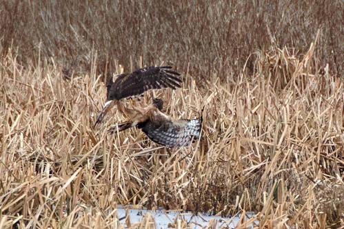 Northern Harriers fighting in the marsh
