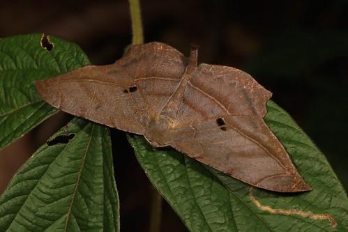 Geometrid Moth (Dalima cf. schistacearia, Ennominae, Geometridae)