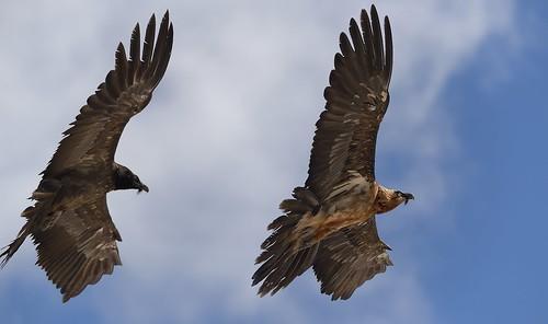 MRC_4126 Bearded Vultures