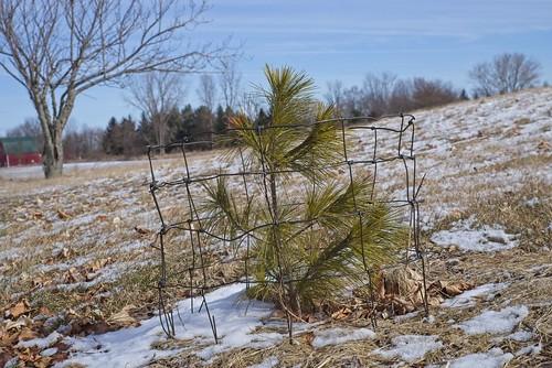 Pinus strobus 'Louie', 2019 photo