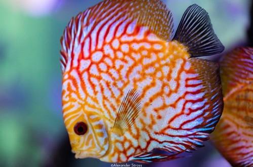 Cá Dĩa - Thông Tin, Kiến Thức Về Cá Dĩa
