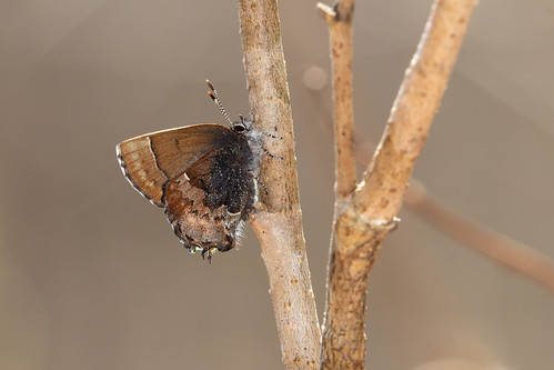 Henry's Elfin (Callophrys henrici), Rutherford County, Tennessee