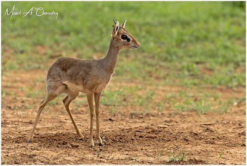 The Dainty Antelope!