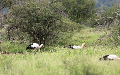 White Stork. Cegonha Branca. Kruger Park. South Africa. Jan/2019
