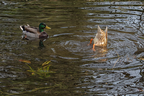 The Ducks' Ditty