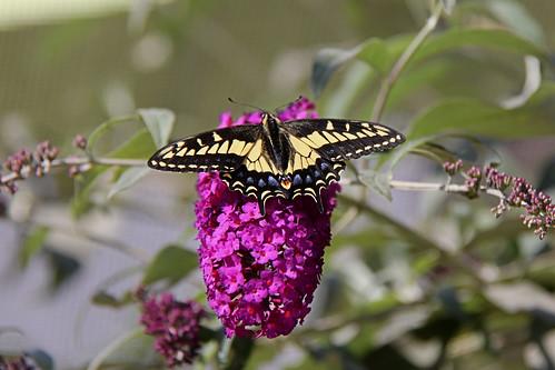Anise Swallowtail.