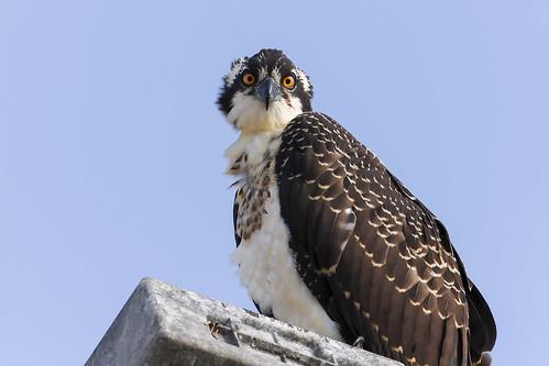 Young Female Osprey,