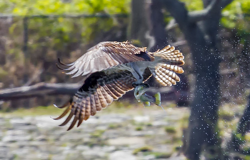 Adult male Osprey, Great Father & Awesome hunter.